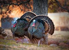 11 surprising turkey facts mnn nature network