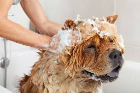 Make Bathtime Fun For Your Dog Can You Use Human Shampoo On Dogs American Kennel Club