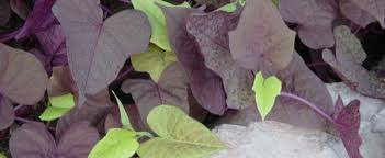 ipomoea ornamental sweet potato sweet potato vine ipomoea