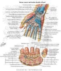 Tendon Synovial Sheath Bursae And Tendon And Lumbrical Sheaths Of Hand Bursae Spaces