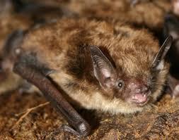 small bat bats in massachusetts brown bats and big brown bats