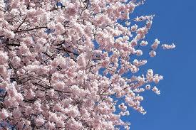 cherry blossom meaning tekino co