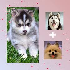 grown pomsky read about pomsky before buying