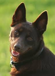 resume template customer service australian kelpie breeders north 11 best kelpies images on pinterest dog breeds species of dogs