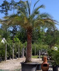 sylvester date palm tree palms