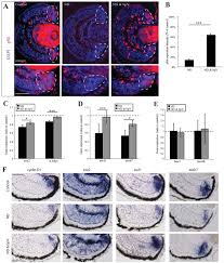 a nutrient sensitive restriction point is active during retinal