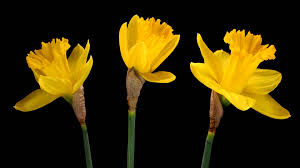 time lapse yellow daffodil flowers blooming youtube