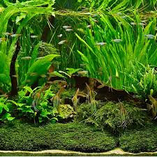 australian native plants online live aquatic plants for aquariums amazing amazon