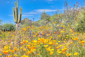native desert plants desert bloom in palm springs