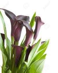 purple calla purple calla stock photo picture and royalty free image