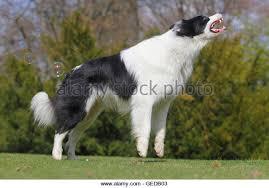 australian shepherd jumping up australian shepherd dog jumping old stock photos u0026 australian