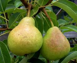 non bearing pear trees what to do for a pear tree not producing