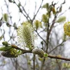 native hedging plants uk gardenersdream salix cinerea 60 90cm 2 3ft bare root grey sallow