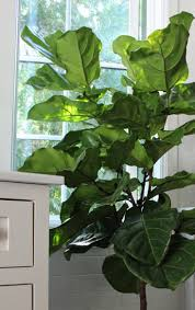 Home Interior Plants by Large Leaf House Plants Plants Uauguste Ferrier Pinterest Best