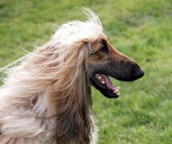 afghan hound arizona grooming sweetie the bark