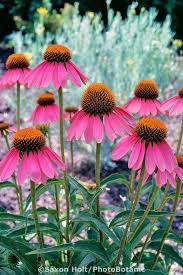 Echinacea Flower 70 Best Echinacea Images On Pinterest Flower Gardening Garden