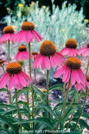 echinacea flower 70 best echinacea images on flower gardening garden