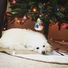 american eskimo dog ireland americaneskimo pack