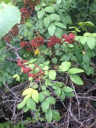 native ginger plant sumac more than just native lemonade eat the weeds and other