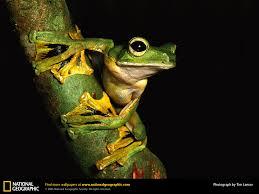 wallace u0027s flying frog picture wallace u0027s flying frog desktop