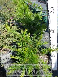 native plants sydney grevillea rosemarinifolia 200mm pot premium plants australian