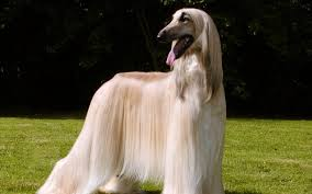 afghan hound speed afghan hound dogs breeds pets