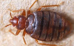 Do Bed Bugs Jump From Person To Person How To Deal With Bed Bugs While Backpacking Rucksack Ramblings