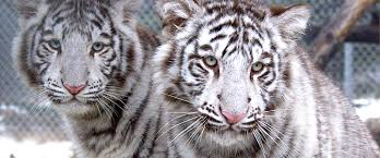 white tigers 8 fast facts you may never heard of before