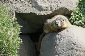 rock chucks appearance bend expert big furry