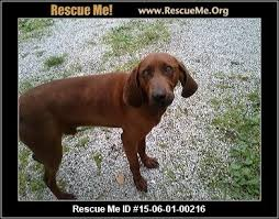 bluetick coonhound rescue nc indiana redbone coonhound rescue u2015 adoptions u2015 rescueme org