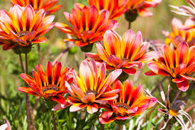 pentas flower flowers shine in the garden