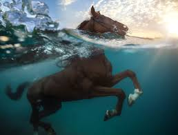 Alaska Wild Swimming images Hooves in the water swimming pigs and diving horses the atlantic jpg