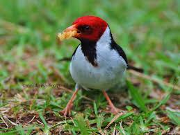 Hawaii Birds images Birds of hawaii first installment my backyard birds move to jpg