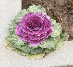 flowers how to grow ornamental flowering kale growing flowers