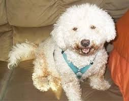 bichon frise years bichon frise dog breed pictures 3