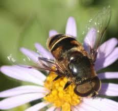 Wilmington Nc Botanical Gardens by Flower Flies U0026 Bee Flies