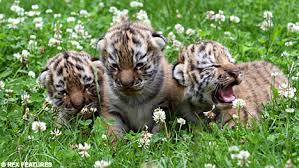 two week tiger triplets their appearance at zoo