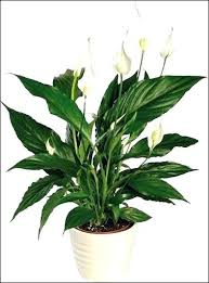 houseplants that need little light plants that need little light in a low light room plant indoor