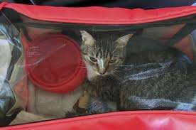 how to travel with a cat images Air travel with pets is no walk in the park san antonio express news jpg