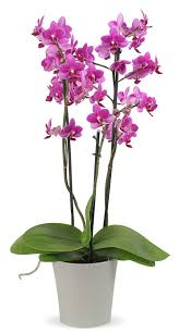 same day just because flowers just because phalaenopsis orchid plant columbus oh florist