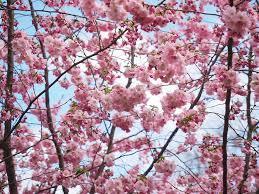 free photo flower tree tree pink flowers japanese cherry trees