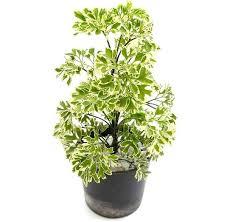 houseplants that need little light tall houseplants for low light low light awesome tall indoor house