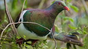 new zealand native plants and trees new zealand pigeon kereru kuku kukupa new zealand native land birds