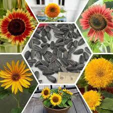 2018 sunflower seeds true mini helianthus annus seeds