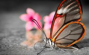 butterfly desktop backgrounds collection 64