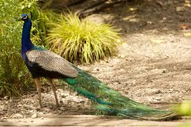 peafowl new zealand birds online