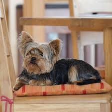 Do All Short Haired Dogs Shed by 5 Dog Breeds That Don U0027t Shed Hair Animalwised