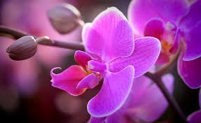 orchid flower orchid flower images pixabay free pictures
