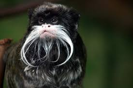 affenpinscher monkey dog tamarin facts history useful information and amazing pictures