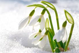 Birth Flower Of January - snowdrop flower meaning flower meaning